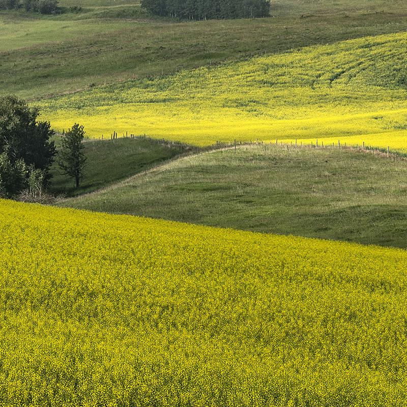 arthur_los-xxl_prints-okotoks-foothills-county-Canola